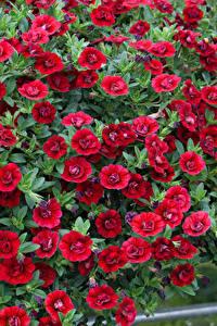 Картинки Калибрахоа Много Красный Цветы
