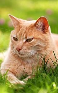 Картинки Кот Взгляд Траве Рыжие животное