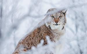 Фотография Рыси Смотрит Животные