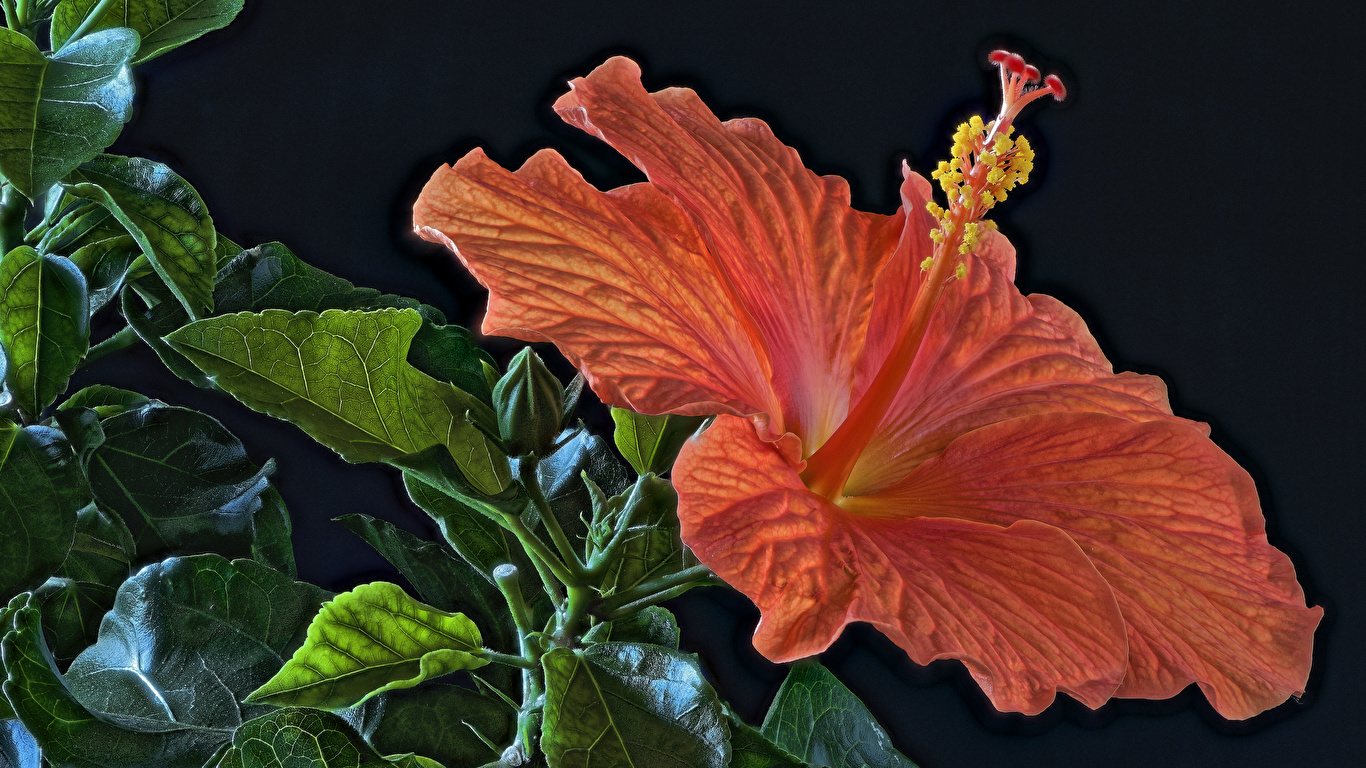Фотография HDR оранжевая цветок Гибискусы вблизи Черный фон 1366x768 HDRI оранжевых оранжевые Оранжевый Цветы на черном фоне Крупным планом