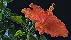 Фотография Гибискусы Крупным планом Черный фон Оранжевый HDRI Цветы