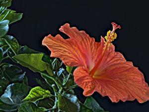 Фотография Гибискусы Крупным планом На черном фоне Оранжевых HDRI Цветы