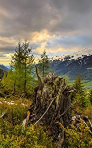 Фотографии Украина Горы Закарпатье Ели Пне Облачно Природа