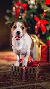 Обои Новый год Собаки Джек-рассел-терьер Подарок Животные