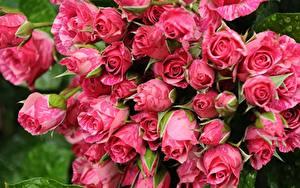 Обои Розы Розовые Цветы