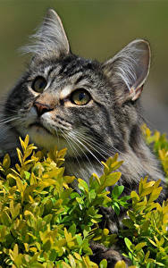 Картинки Кошка Взгляд Norwegian Forest cat