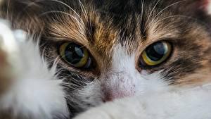Обои Кошки Крупным планом Глаза Взгляд Животные