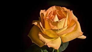 Картинка Розы Вблизи Черный фон Оранжевые Цветы