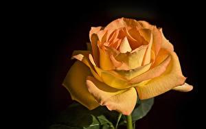 Картинка Розы Вблизи Черный фон Оранжевый Цветы