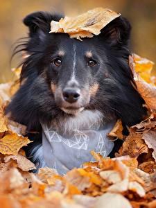 Фото Собака Осень Лист Шелти шетландская овчарка Взгляд