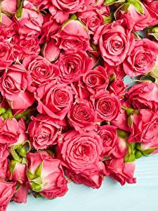 Картинки Розы Много Розовая цветок