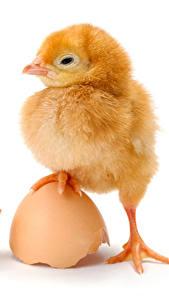 Фотографии Птенец курицы Белом фоне Яйцами Лап животное
