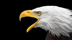 Картинки Орлы Вблизи Черный Клюв Голова bald eagle Животные
