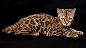 Картинки Кошки Бенгальская кошка На черном фоне Животные