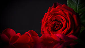 Фотография Розы Крупным планом Черный фон Красный Лепестки Цветы