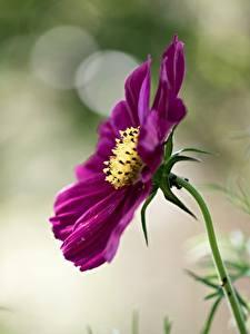 Картинка Космея Вблизи Боке цветок
