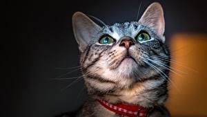 Картинка Коты Морда Смотрит Усы Вибриссы Животные