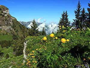 Картинка Швейцария Гора Лютик Альпы Ели Nidwalden