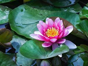 Обои Водяные лилии Листья Розовые Цветы