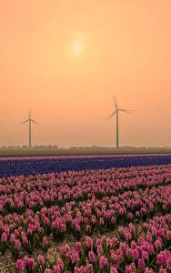 Обои для рабочего стола Нидерланды Рассветы и закаты Поля Гиацинты Много Природа Цветы