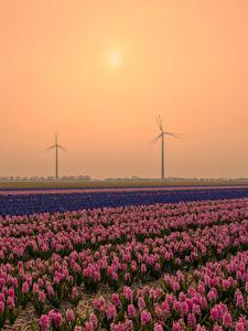 Фотография Нидерланды Рассветы и закаты Поля Гиацинты Много Природа Цветы