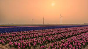 Фотография Нидерланды Рассветы и закаты Поля Гиацинты Много Цветы