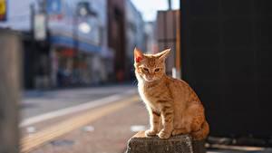 Картинка Коты Рыжая Размытый фон Сидя животное