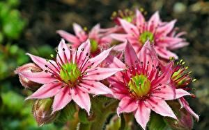 Обои Вблизи Розовая Sempervivum Цветы