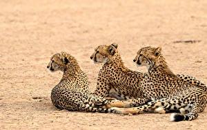 Картинка Гепарды Втроем животное