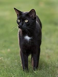 Картинки Коты Траве Размытый фон Черные Взгляд Животные