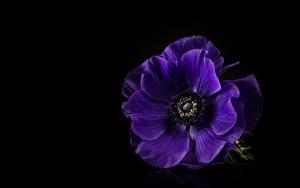 Фото Ветреница Крупным планом Черный фон Фиолетовые цветок