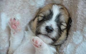 Картинка Собаки Вблизи Щенка Морды Спящий Лап Животные