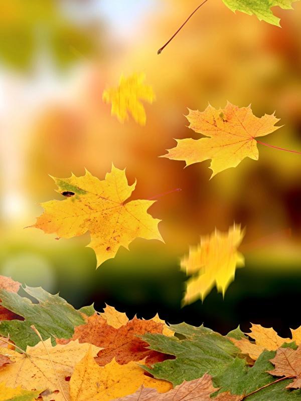 Фотография Листва клёна Осень Природа 600x800 для мобильного телефона лист Листья Клён клёновый осенние