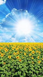 Фотографии Поля Подсолнухи Небо Солнце Облако Лучи света