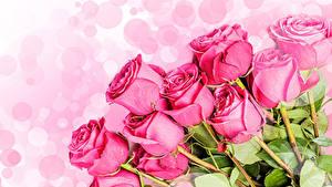 Фото Розы Крупным планом Белый фон Розовый Цветы