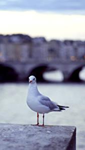 Фотографии Чайка Птицы Водный канал Животные