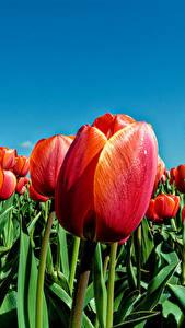 Фотография Тюльпаны Поля Крупным планом Красная цветок