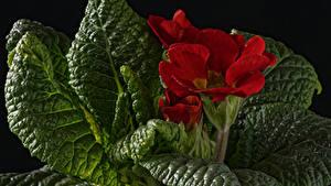 Картинка Первоцвет Вблизи Красный Листва Цветы