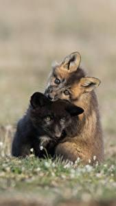 Фотография Лисы Детеныши Двое Черный Животные