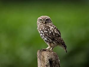 Фотографии Птица Совы Размытый фон little owl животное