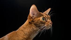 Картинка Кошка Взгляд Головы На черном фоне Усы Вибриссы животное