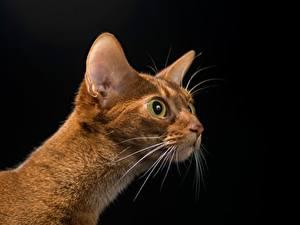 Картинка Коты Взгляд Головы Черный фон Усы Вибриссы Животные