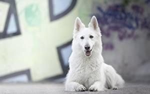Фото Собаки Лежит Белый Овчарки Berger Blanc Suisse