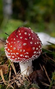 Фотография Вблизи Грибы природа Мухомор Красный Природа