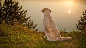 Обои Собаки Голден Берег Рассветы и закаты Животные