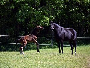 Фотография Лошадь Детеныши Траве 2 животное