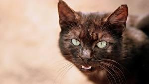 Обои Коты Усы Вибриссы Морды Взгляд Животные