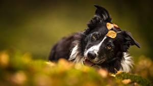 Картинки Собаки Бордер-колли Размытый фон животное