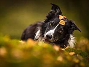 Картинки Собаки Бордер-колли Размытый фон