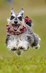 Фотография Собаки Бег Прыжок Язык (анатомия) Цвергшнауцер